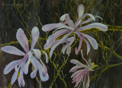 painting of magnolia_stellata